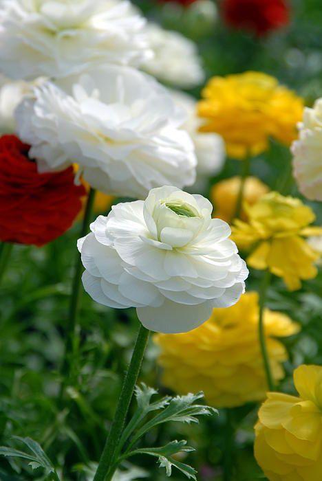 گل سفید و زرد