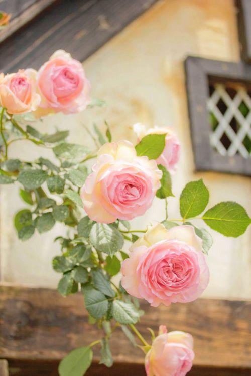 گل شبه به گل محمدی